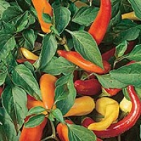 Pepper HOT Hungarian Yellow WAX Great Heirloom Vegetable 200 Seeds