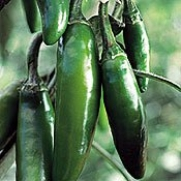 Organic Serrano Chile Pepper - 50 Seeds