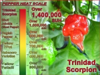 Authentic Trinidad Scorpion Pepper - 10 Quality Seeds -In 2011 Guinness Book of World Records Confirmed: It's the Hottest Chili Pepper in the World!