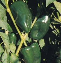 Pepper Ancho 211 (Capsicum annuum) 20 Seeds by David's Garden Seeds