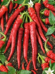 Pepper Hot Long Red Slim Cayenne 20 Seeds Fresh Seed By Seeds and Things