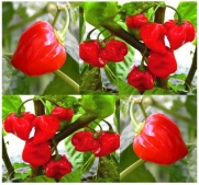 1/8 oz (850+ Seeds) RED HABANERO RED HOT Pepper seeds - HABENERO RED SUPER HOT - 445,000 Scoville units