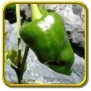 1 Lb - Hot Pepper Seeds - 'Ancho' Bulk Vegetable Seeds