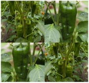 ANCHO POBLANO CHILE HOT Pepper seeds - 1,000 - 5,000 SHU - Dark green to mahogany - 70 - 80 Days (0350 Seeds - 1/8 oz)