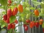 Hinterland Trading 7 Pot Red Hot Pepper Seeds 10+