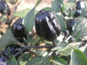 Black Scorpion Tongue 20 Pepper Seeds By Pepper Gardeners