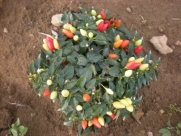 Prarie Fire 20 RARE Pepper Seeds By Pepper Gardeners