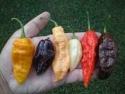 Bhut Jolokia Ultimate Collection by Pepper Gardeners