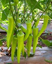 100 SEEDS PLANING IN GARDEN HERB ORGANIC SWEET WRINKLED OLD MMAN PEPPER CHILI PEPPER PAPRIKA SPANISH BANANA PEPPER BELL PEPPER