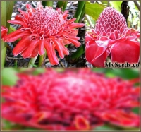 4 x COMBO PACKS x PINK and RED Torch Ginger Plant, Seeds - Etlingera elatior PINK and RED - Perfect House Plant - EXOTIC & EDIBLE - FRESH SEEDS - ZONES 9-11 - By MySeeds.Co