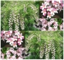 30 x Beauty Bush - Kolkwitzia amabilis - Shrub Seed Seeds - FAST GROWING SHRUB - Pink With Yellow Throat Blooms - Attracts BUTTERFLIES - Zones 4 - 8 - By MySeeds.Co
