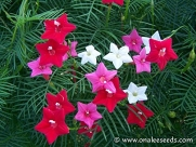 *MIX-LOT*WHITE/RED/PINK CYPRESS VINE*(Ipomoea Pennata) *20 seeds*SHOWY*#1295