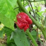 #1319 25 CAROLINA REAPER PEPPER SEEDS