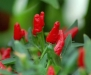Exotic Plants Malaga Bird Chili - hot pepper - 50 seeds
