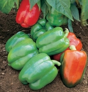 Pepper Yankee Bell D566A (Green to Red Bell) 25 Organic Seeds by David's Garden Seeds