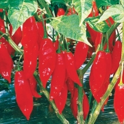 Paper Lantern Hot Pepper Seeds Very Hot, Ripens earlier in the North than regular habaneros 15 Seeds per package