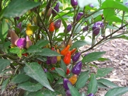 *BOLIVIAN RAINBOW CHILI PEPPER 25 seeds*RARE #1031
