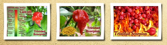 Magic Plant authentic trinidad scorpion pepper 10 quality seedsin 2011 guinness book of world records confirmed: it's the hottest chili pepper in the world!