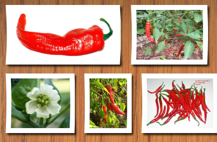 Seedville 300 long red cayenne pepper capsicum annuum vegetable seeds