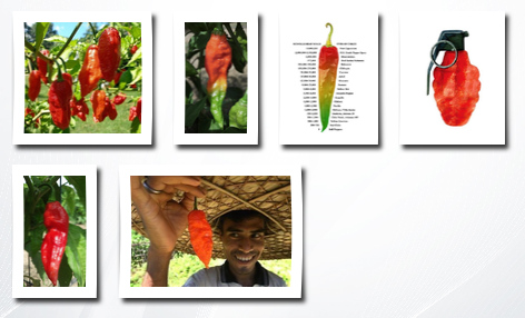 Seeds and Things 10+ bhut jolokia / ghost pepper seeds. these are true bhut seeds!! sold only with the  labeled package, beware of less expensive seeds. plus 10 free paper lantern seeds
