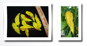 Seeds Direct yellow bhut jolokia**10+ seeds**limited** very rear hot pepper + 10 free paper lantern seeds